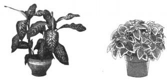 Диффенбахия и колеус
