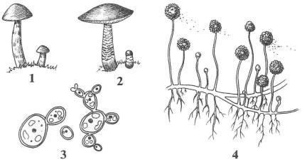 Рисунок Грибы к заданию В1 вариант 1