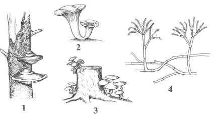 Рисунок Грибы к заданию В1 вариант 2